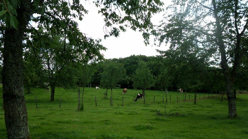 A Fougerolles, la récolte des cerises a été très rapide cette année.