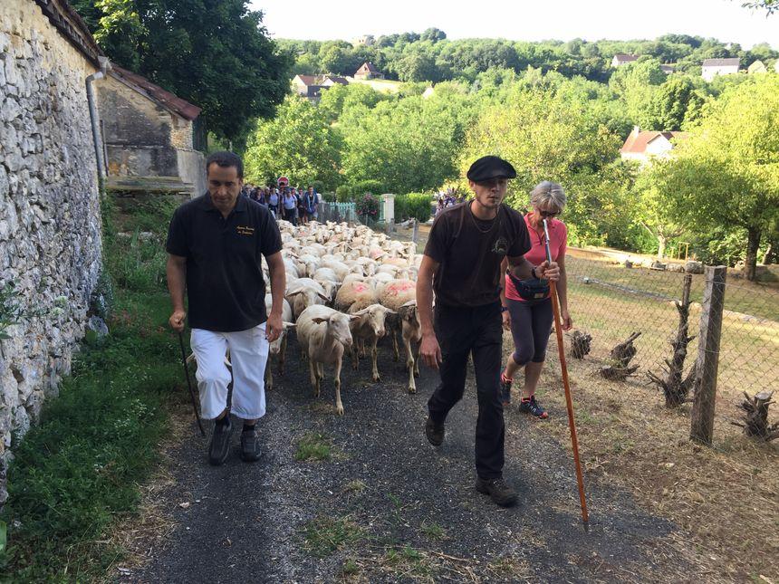 Les 500 marcheurs ont suivi les brebis sur 8 kilomètres.