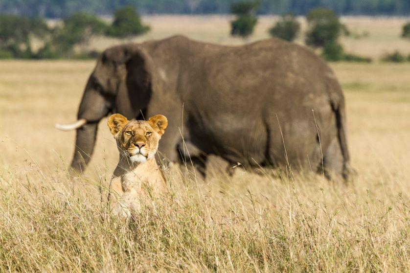 Le lion et l'éléphant sont des espèces menacées.
