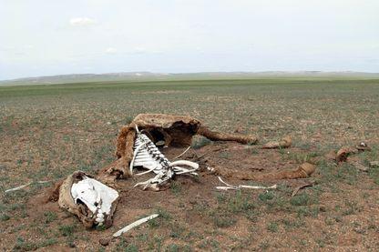 De nombreuses carcasses jonchent les steppes du pays. Plusieurs centaines de milliers d'animaux (chèvres, chevaux, brebis, chameau...) sont morts de faiblesse et de faim cette année, victimes du dzud