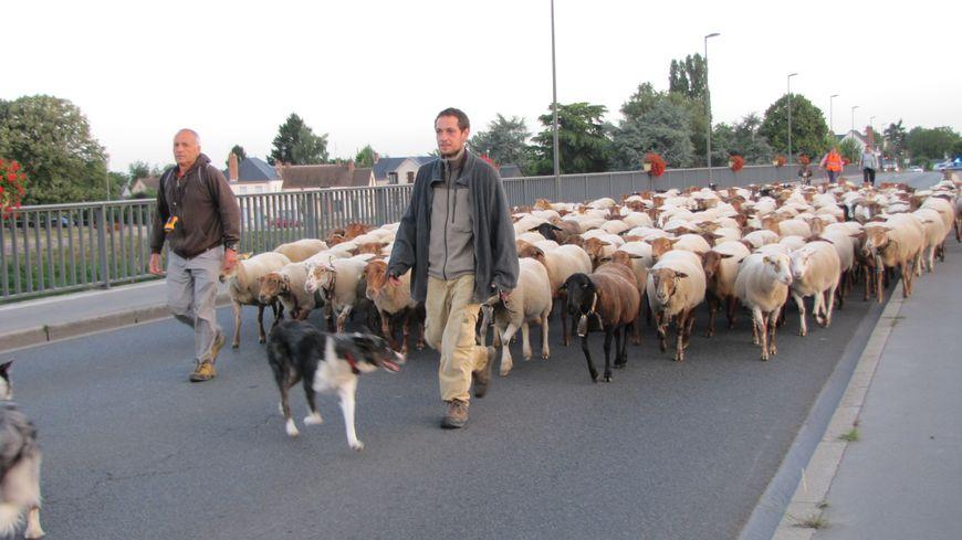 Les 250 brebis de Thierry Ganem ne passent pas inaperçus dans les rues et sur les ponts des villages du bord de Loire