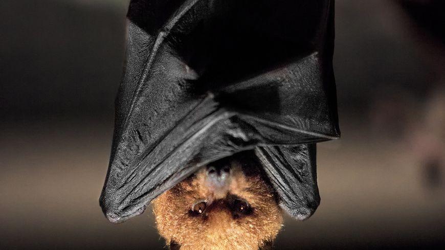 On dénombre 21 espèces de chauves-souris en Bretagne. De l'Oreillard roux au Grand Rhinolophe, en passant par le Murin à moustaches et la Pipistrelle, les chauves-souris sont présentes dans la région.