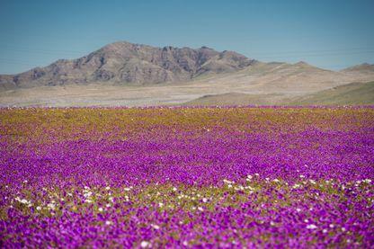 Le désert d'Atacama, au Chili, transformé en véritable champ de fleurs suite à de fortes intempéries : le phénomène d'El Niño est à l'origine de ce spectacle d'une rare beauté. 26/08/2017