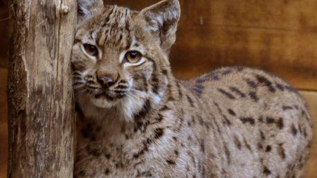 L'un des lynx recueilli et soigné au centre Athénas dans le Jura