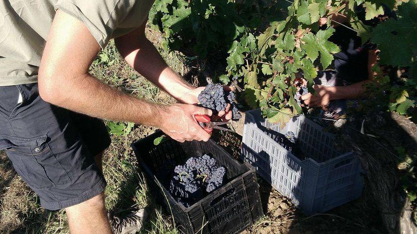 Cueillette de raisin en Cabernet-Franc.