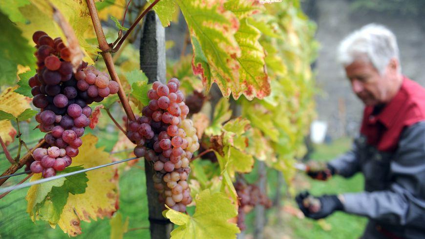 La récolte de vin en France devrait baisser de 18% en 2017 par rapport à l'an dernier.