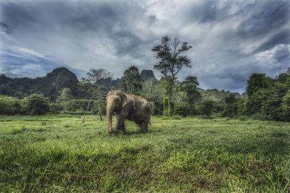 Elephant au Khao Sok National Park (Thaïlande)