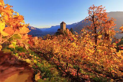 Vignobles autour du château de Tirolo dans le val Venosta, (Italie)