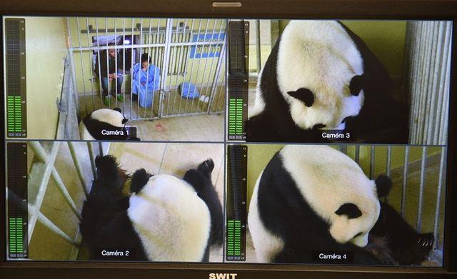 Huan Huan la femelle panda après l'accouchement sur les écrans de contrôle du zoo de Beauval