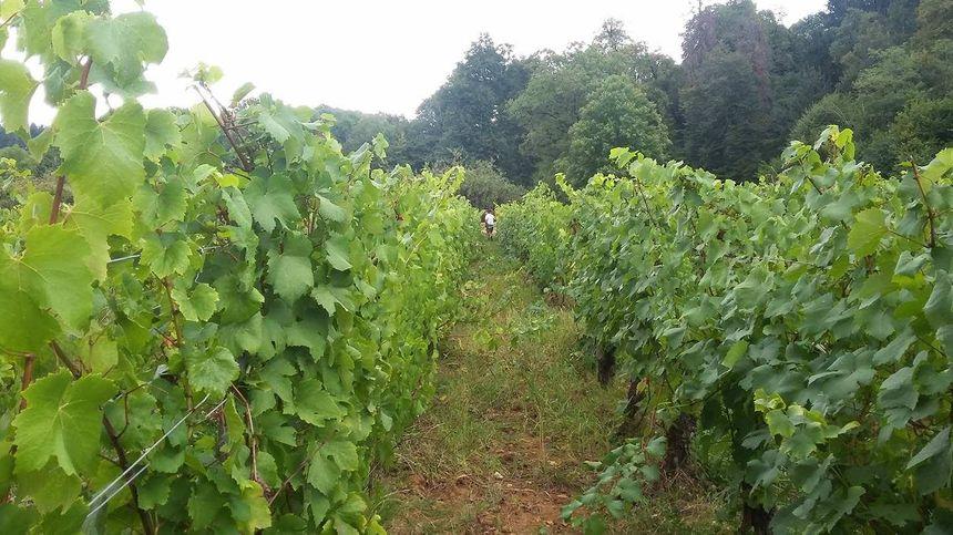 Julien Abt et les autres vignerons du caveau des Byards du Vernois vendangent le peu de raisin qui a mûri après le gel d'avril.
