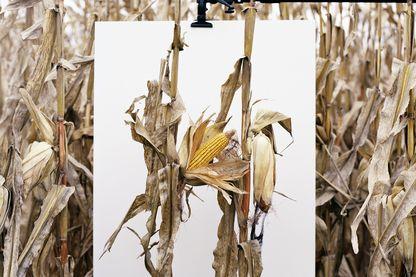 En 1996, Monsanto® introduisit les premières semences OGM. Ici, une des photos exposées aux Rencontre d'Arles.