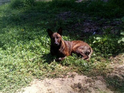 Kynaï un berger malinois décédé samedi dernier après s'être baigné dans la rivière Cher à Selles-sur-Cher.