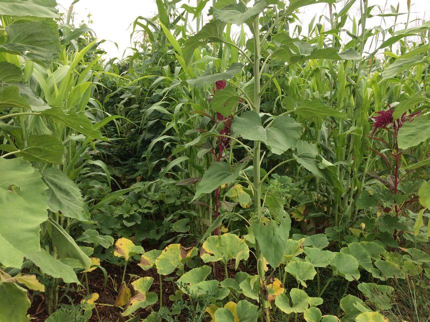Du maïs comme tuteur, des haricots pour amener de l'azote, des courges pour bloquer les rayons du soleil ... Chaque mètre carré est un petit écosystème chez Christophe Gaudry.