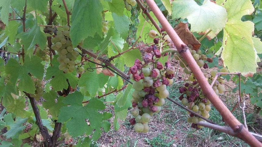 Les grappes de raisin ont souffert du gel d'avril dans le Jura.