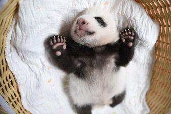 Jusqu'à ses deux mois, le bébé panda partage son temps à se nourrir, dormir et aller à la selle.