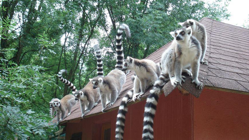 Le Parc de l'Auxois possède cinq espèces de lémuriens.