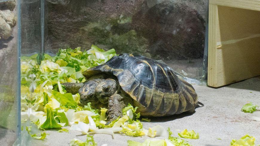 20 ans, un record de longévité pour la tortue a deux têtes du Muséum de Genève. Janus fêtera son anniversaire dimanche prochain. (Photo: Philippe Wagneur / Muséum Genève)