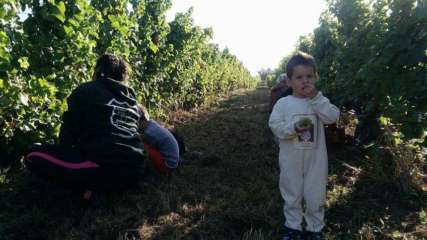 Même les petits gourmands ont droit de goûter au raisin.