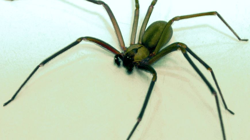L'araignée recluse, ou araignée violoniste, n'est présente qu'en Amérique.