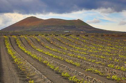 Vignes sur les pentes du volcan à Lanzarote, l'une des Îles Canaries
