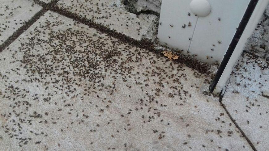 photos une ville du roussillon envahie par des millions d insectes. Black Bedroom Furniture Sets. Home Design Ideas