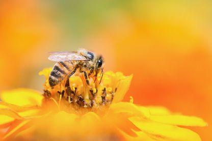 Récolte de pollen par une abeille à partir de fleurs jaunes