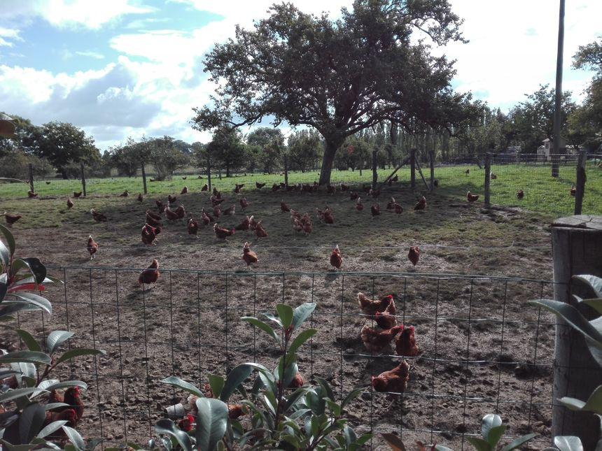 Les poules pondeuses de Vanessa Hervé à Saint Jean d'Assé