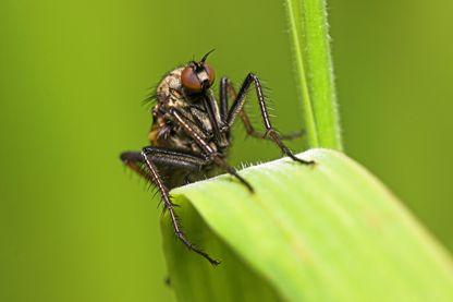 Diptère prédateur de mouches: l'empis, posé sur une graminée.