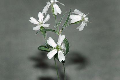Toute première fleur ressuscitée par les Russes proche de l'actuelle Silene stenophylla, mais ce pourrait être une espèce distincte.