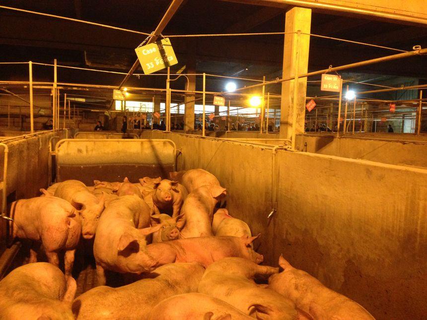Les militants sont parvenus à libérer un porc, précisent-ils.