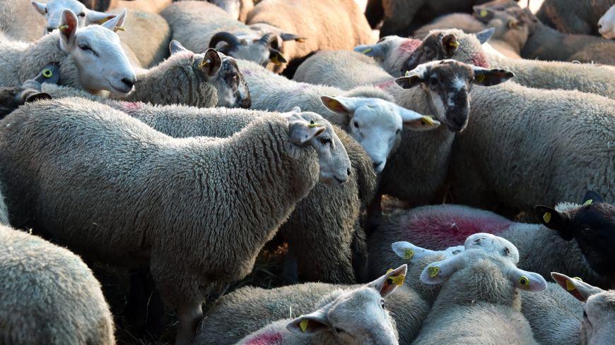 Moutons en passe d'être abattus pour la fête de l'Aïd