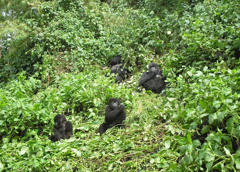 Famille de gorilles dans le Parc National des Volcans au Rwanda