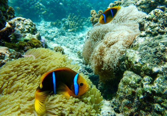 Si la température est élevée, les microalgues sont expulsées, et les anémones et les coraux blanchissent
