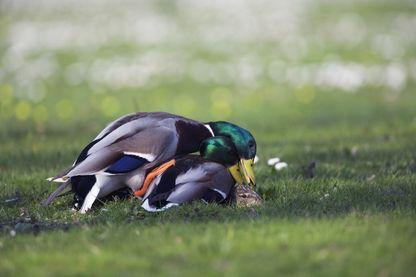 La sexualité du canard palme du sadomasochisme ?
