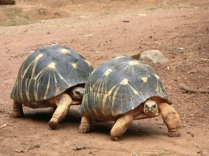 Un couple de Geochelone
