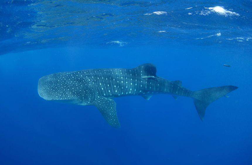 Un requin baleine près de Madère
