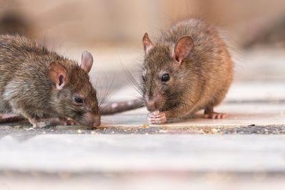 Des rats qui mangent des graines.