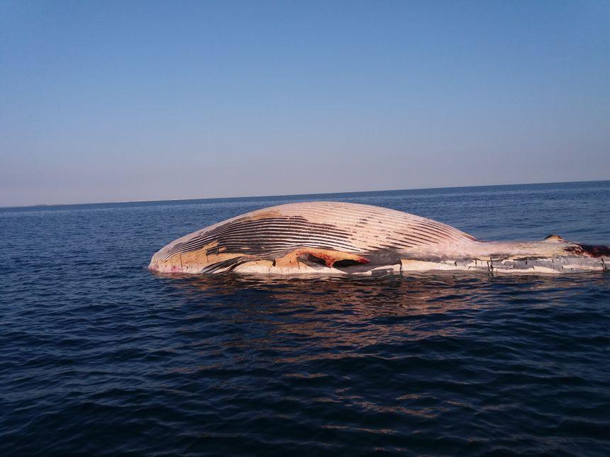 L'animal dérivait en début de semaine à moins de 2 nautiques des plages de Sète et Frontignan