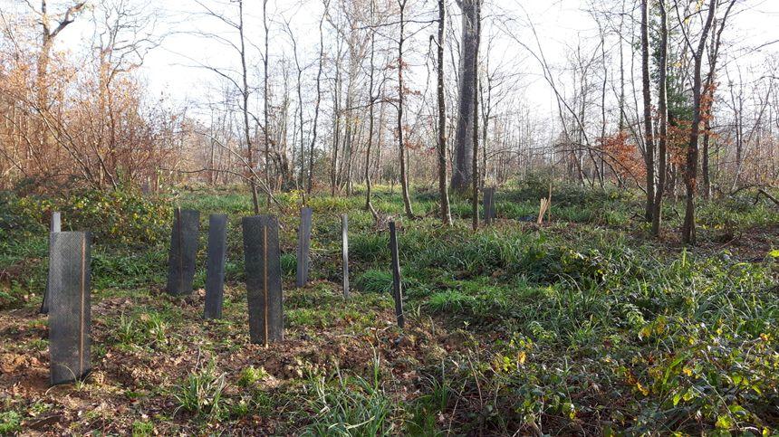 Le reboisement est un travail de dentelles : il faut replanter là où les frênes malades ont été abattus
