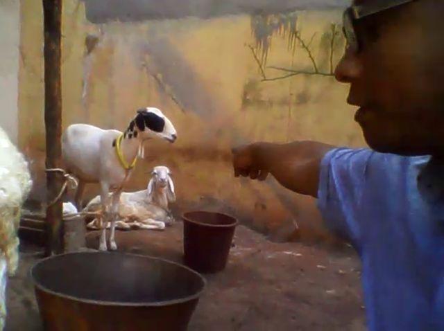 Sidi Mohamed Dicko montre ses moutons dans son logement à Bamako