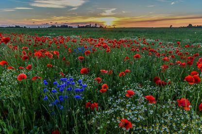 Champ de coquelicots rouges et de bleuets au coucher du soleil dans le nord des Pays-Bas.