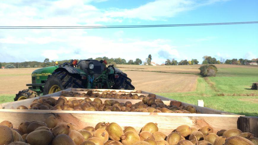 La récolte du kiwi de l'Adour à St Lon les Mines