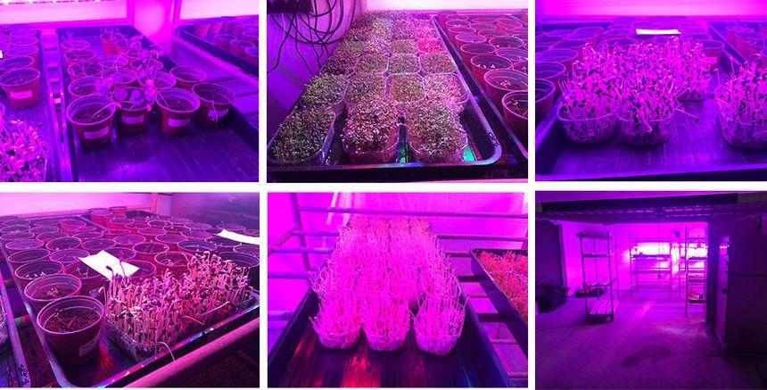 Les micro-pousses sont cultivées sous une lumière LED.