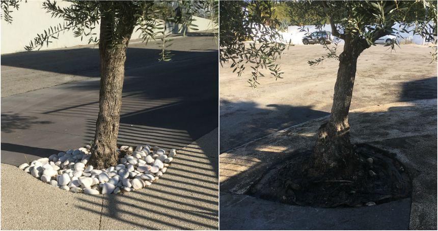 À gauche, un arbre sain, à droite l'arbre inondé par la boue toxique. - Radio France