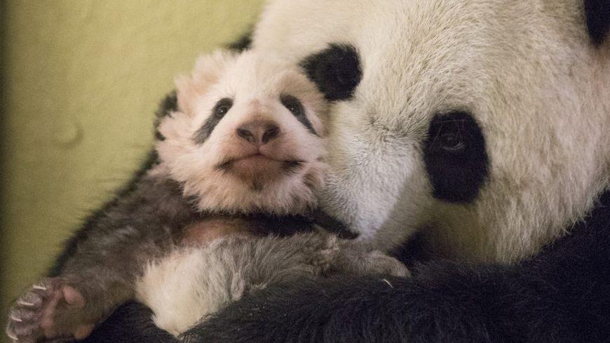 Les pandas du zoo de Beauval vont recevoir la visite de l'ancien président de la République ce mercredi.