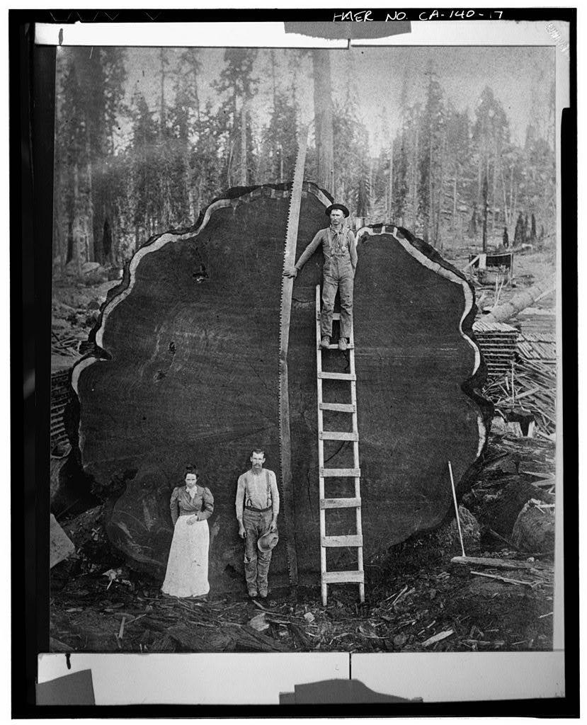 Abattage d'un séquoia géant (non daté) - Generals Highway, Three Rivers, Tulare County, Canada