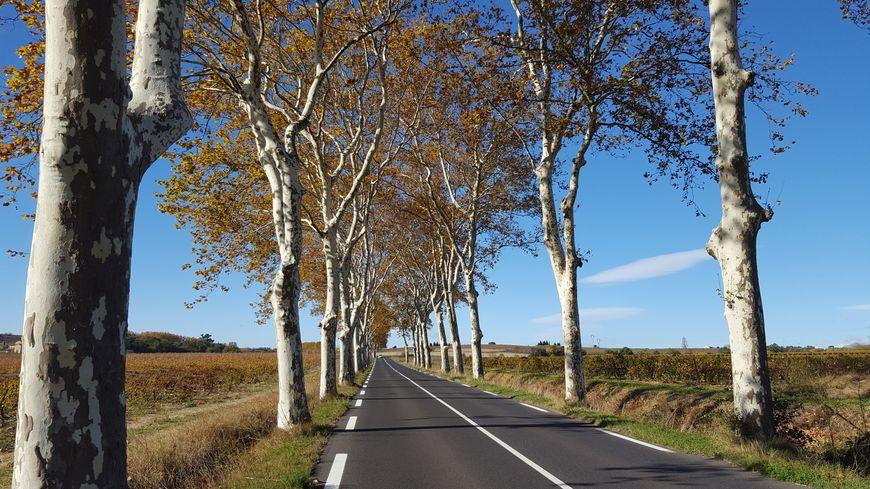 L'élargissement de la route se fera à droite car les platanes y sont moins nombreux.