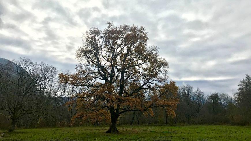 Situé au coeur de la réserve naturelle du Bout du Lac d'Annecy, le Grand chêne est en lice pour le titre 2017 de plus bel arbre de France.