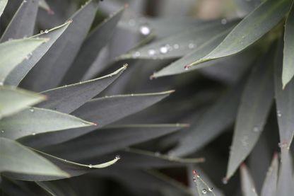 Feuilles d'Euphorbia