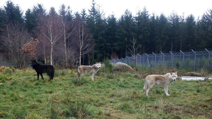 Le Parc Animalier des Monts de Guéret accueille deux nouveaux loups de Mackenzie